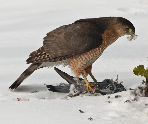 Cooper's Hawk Dining in the Front Yard