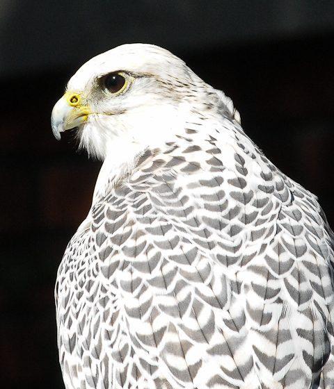 Jim Eyring's Gyr Falcon, October 2010