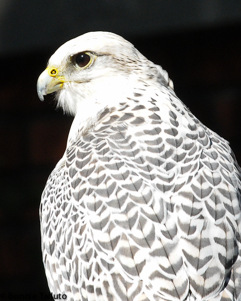 Jim Eyring's Gyr Falcon, October 2010