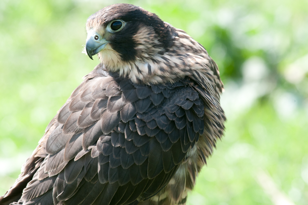 Legs is the geatest looking young falcon in the world.