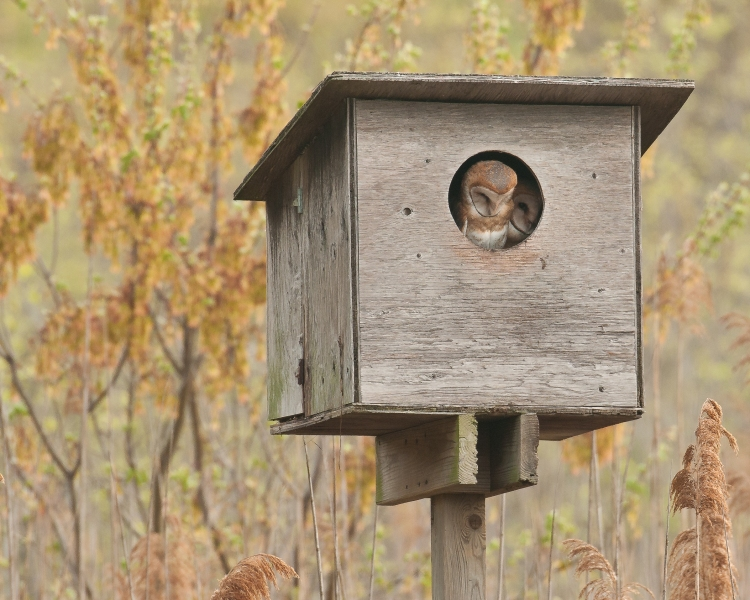 Barn owl almost fledglings at Jamaica Bay