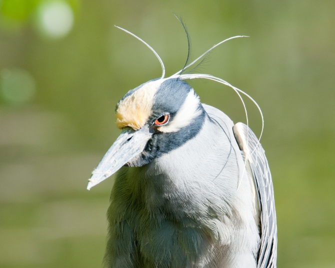 And the Piece de Resistance, yellow crowned night heron at Big John's Pond