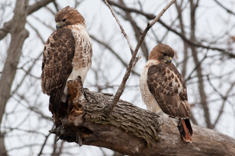 Red-tailed hawk pair in February 2012 - yes, I was that close to them
