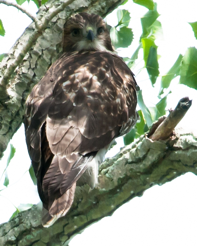 Juvenile number two watching me watching it in a tree right next to the park office.  Juvenile number one is in a dead tree right across the way.