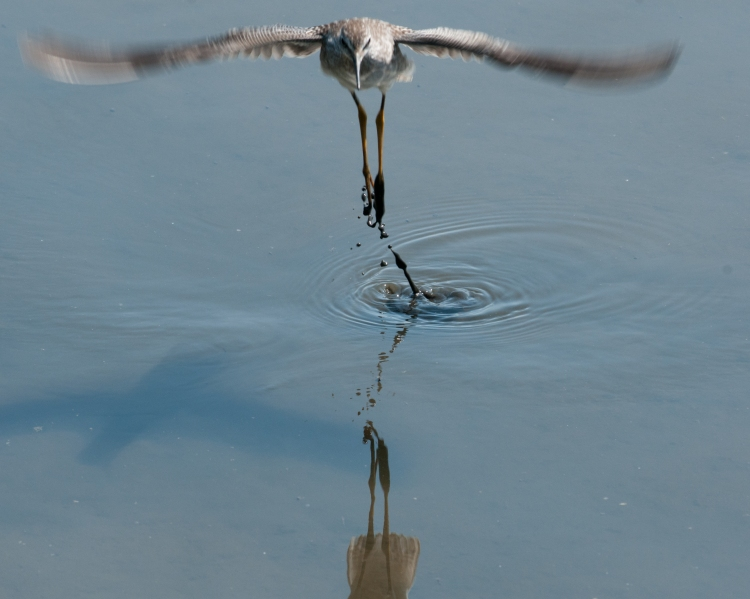 Muddy yellowlegs taking off