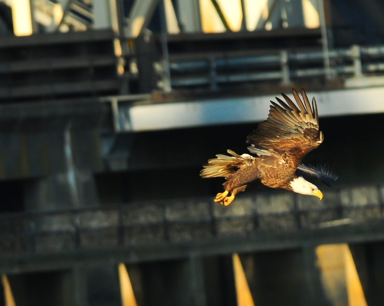 1.5_eagle_stoop10_Conowingo eagles-15