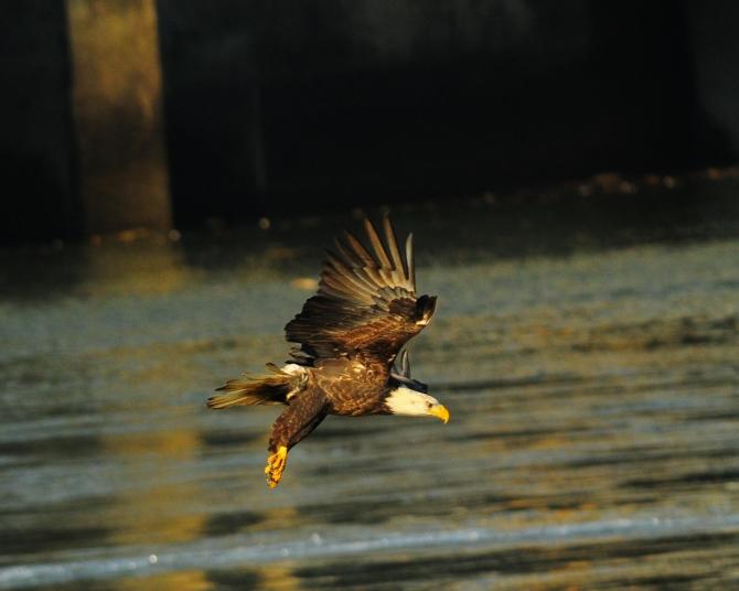 1.5_eagle_stoop11_Conowingo eagles-16