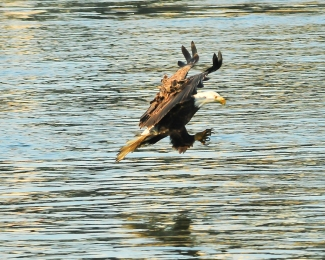 1.5_eagle_stoop12_Conowingo eagles-17