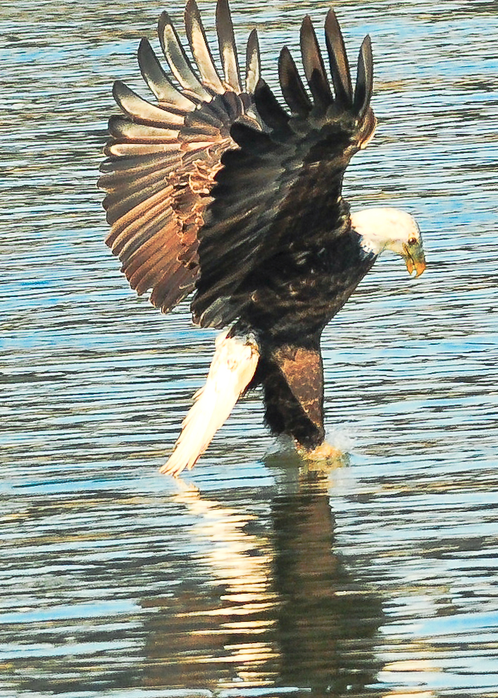 1.5_eagle_stoop13_Conowingo eagles-18