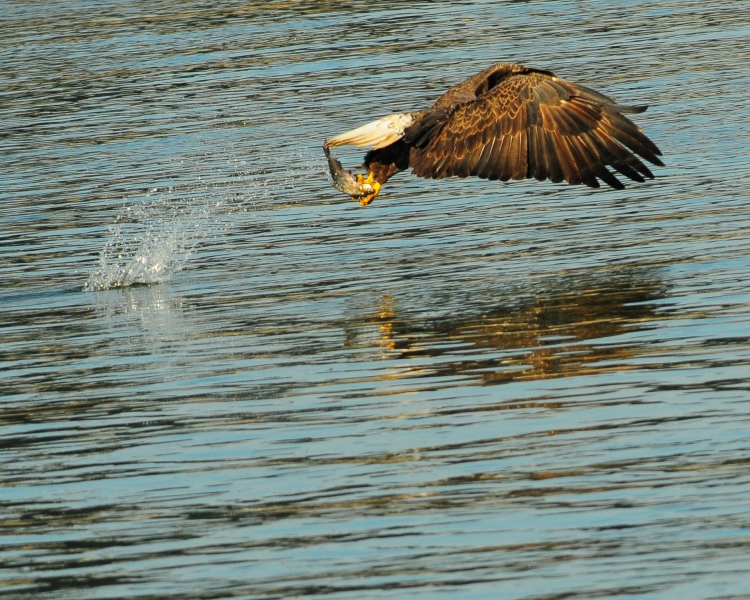 1.5_eagle_stoop14_Conowingo eagles-19