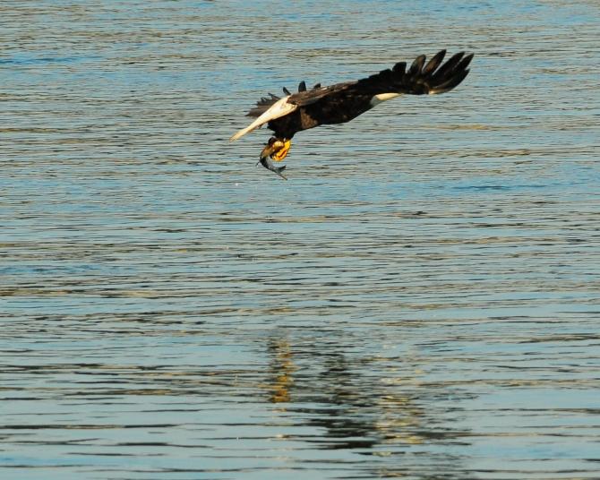 1.5_eagle_stoop16_Conowingo eagles-21