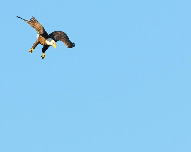 1.5_eagle_stoop1_Conowingo eagles-5