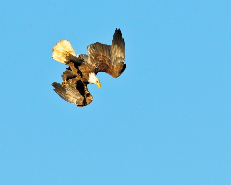 1.5_eagle_stoop1_Conowingo eagles-6