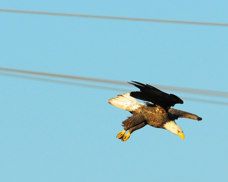1.5_eagle_stoop6_Conowingo eagles-10