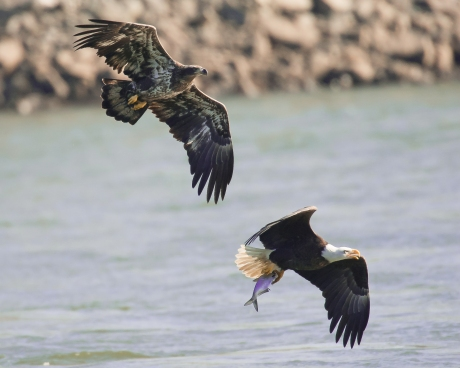 1_eagles_fish_flight_Conowingo eagles-4