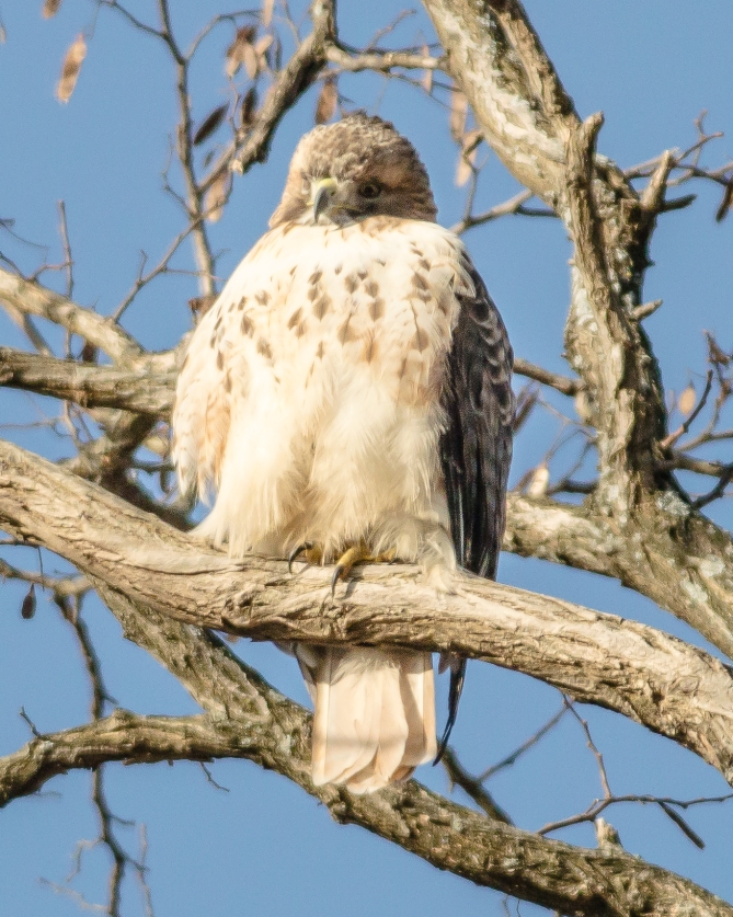 Male red-tailed hawk