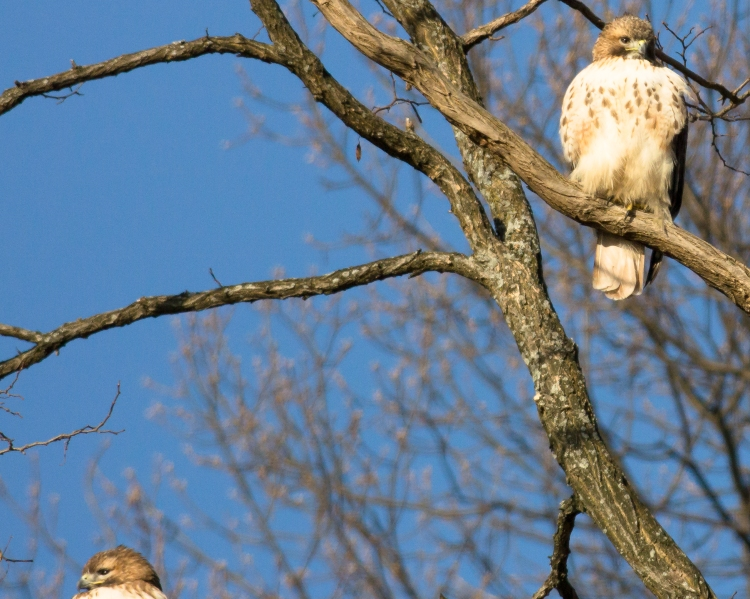 Croton red-tailed pair checking the landfill