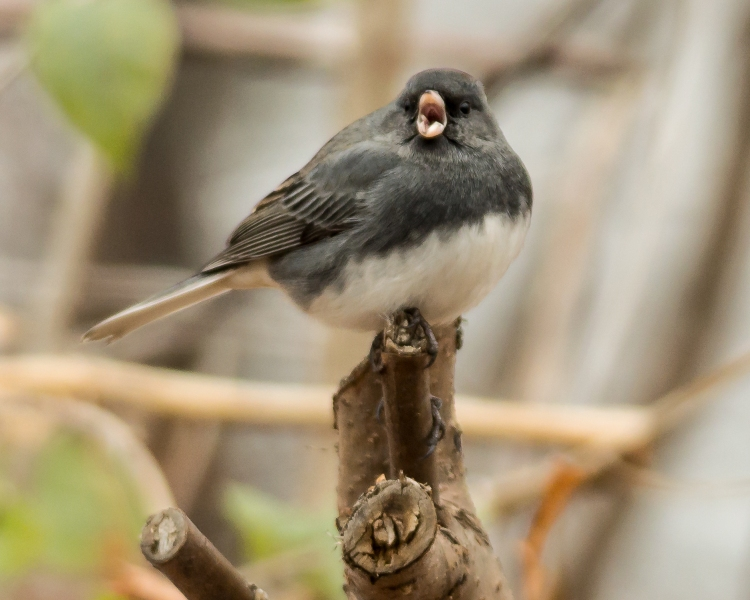 Junco showing its tonsils