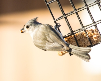 Titmouse at Marshlands Conservancy