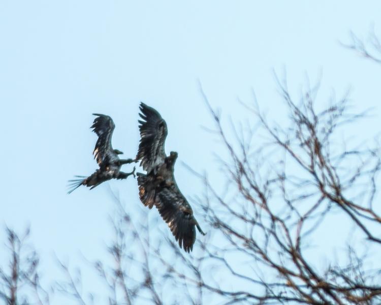 Croton eagles 010713-1