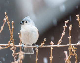 Tufted titmouse at Croton