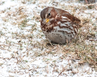 Fox sparrow on the exit road from Croton Point cabins