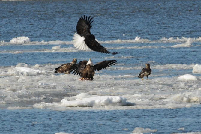Eagle Fish Fight on the Hudson from two years ago
