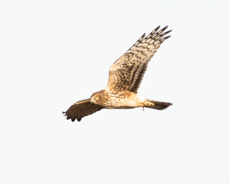 Harrier at Shawangunk