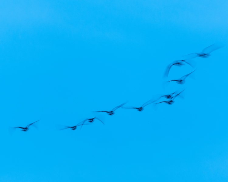 Geese in motion at sunset, Verplanck during eagle counting