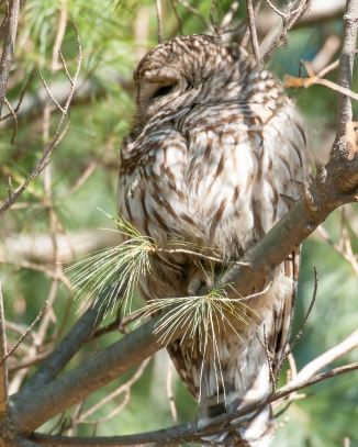 Barred owl did manage to open an eye.