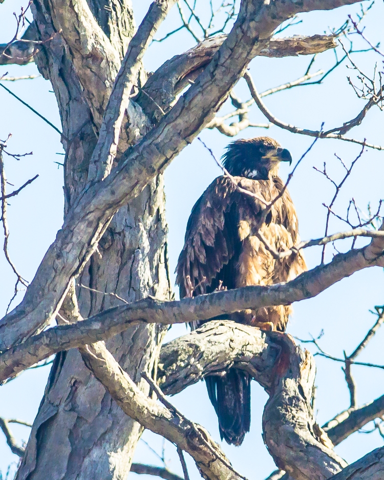 Young eagles are everywhere right now