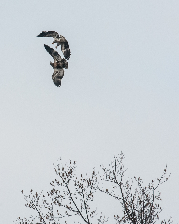 There are eagles at George's Island this year.  We were beginning to worry