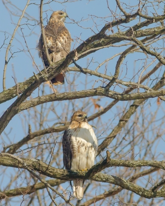 Red-tailed hawks continue to welcome folks who come into Croton Point Park.