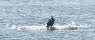 Definitely a mature eagle enjoying the ice and the sun