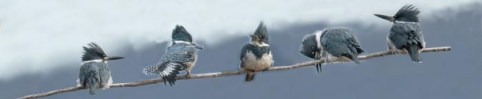 cropped-kingfisher1.jpg