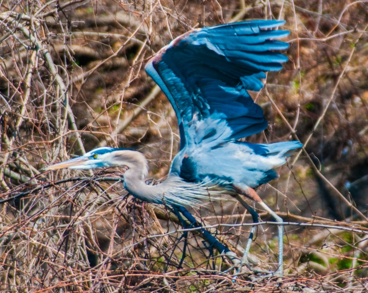 Really blue heron.  I overdid the color balance.  He's back at Oglevie's Pond.
