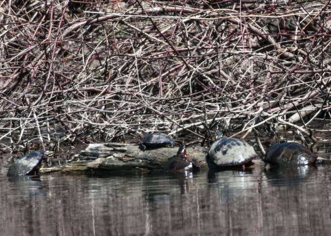 Turtles backing and swimming at Oglevie's Pond.