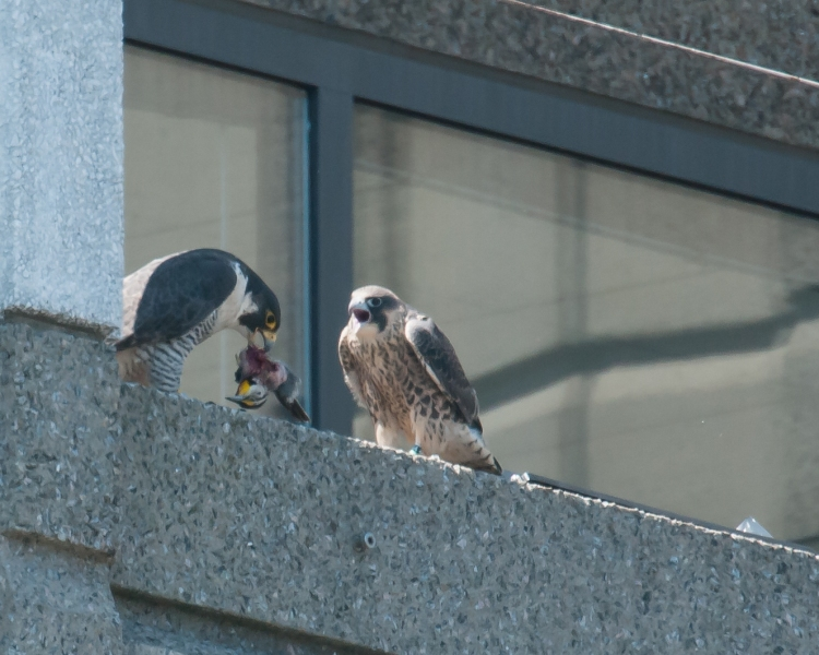 Watching a peregrine feed young is not for the faint of heart