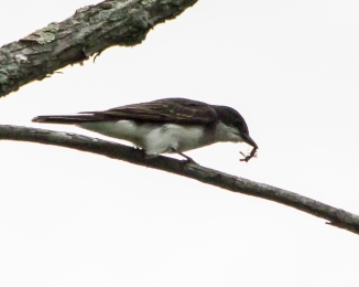 Tree swallow with a meal