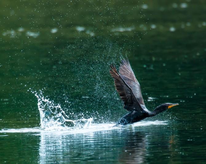 I finally got a cormorant taking off.