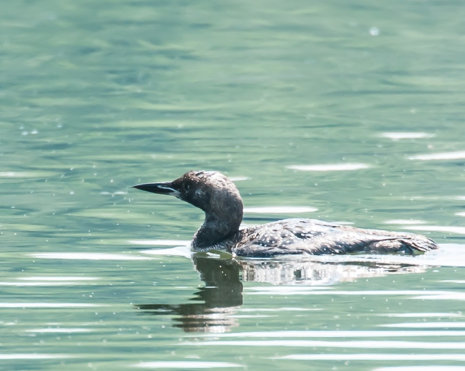 Our loon is hanging around at the mouth of the Croton River.