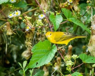 Yellow warbler at the nature center