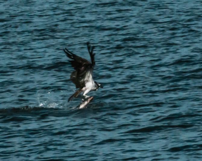Osprey fishing off the Croton Point Park beach