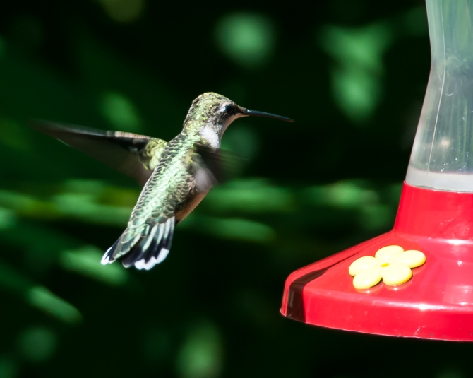 Lonely female ruby throated hummingbird eating