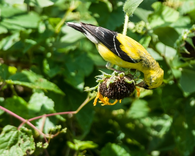 Goldfinch with its meal