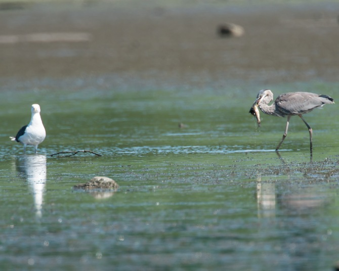 The black back gull challenged the heron for its fish.