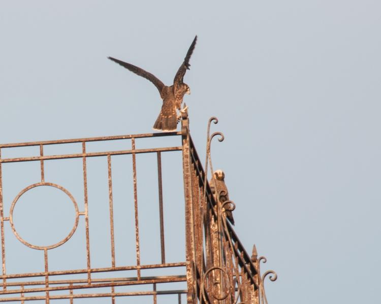 Rochester falcon fledglings
