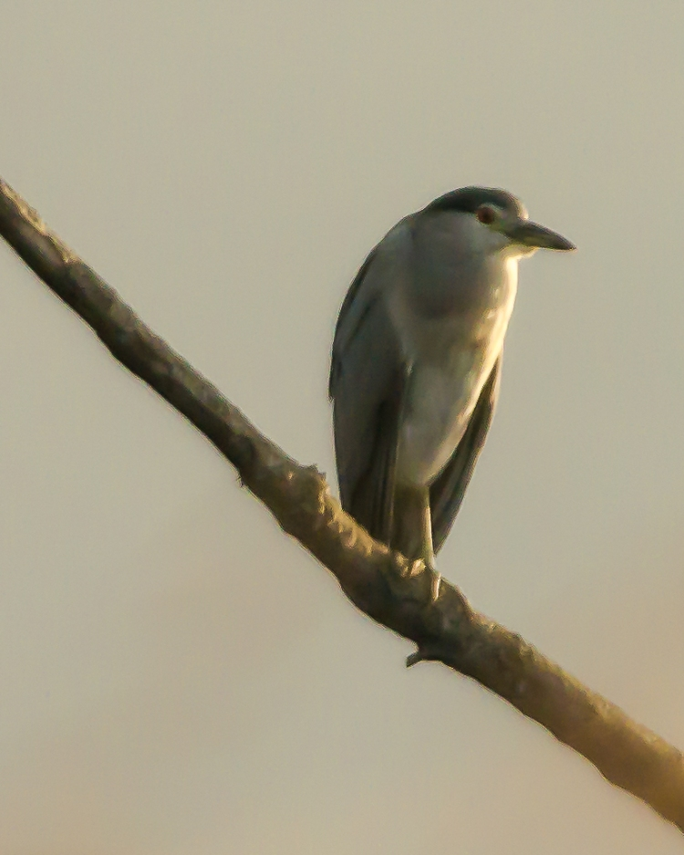 Black crowned night heron I do believe