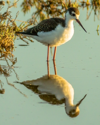 Black necked stilt up close and personal