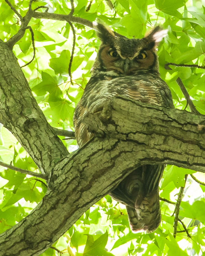 Great horned owl just watching all the visitors to Marshlands